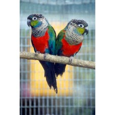 crimson belly conures