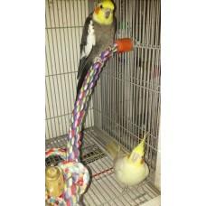 Cockatiel- breeder pair