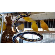 Canaries-females